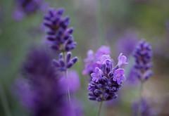 Lavande (sosivov) Tags: macro flower flowers lavender lavendel blue violet