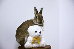 ICHIGO san 384 (mensore) Tags: rabbit bunny netherlanddwarf brown cute pet family ichigo