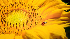 Weighing Red (Michael Angelo 77) Tags: macro lieveheersbeestje ladybug sunflower yellow red insect plants