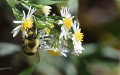 morning harvest II (Bad Alley) Tags: bee aster whiteflower macro insect