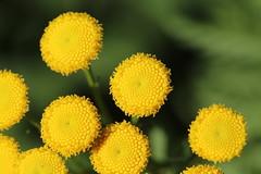 Tansy Flowers (non-native) (corey.raimond) Tags: tansy commontansy asteraceae flora washington weed nonnative plant yellowflower tanacetumvulgare bothell kingcountywashington tanacetum parasitoidwasp
