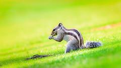 Om nom nom nom ..... (Sunny M5) Tags: squirrel animal fur grass green lawn nuts nature fauna golf ground