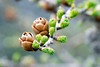 larch Larix laricina cones (Paul and Jill) Tags: canada newfoundland fogoisland lionsdentrail larch larixlaricina cone