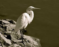 Patiently Waiting (McDuck17) Tags: park bird nature monochrome rocks feathers nj egret bayonne greategret thegalaxy mygearandme allofnatureswildlifelevel1 allofnatureswildlifelevel2 allofnatureswildlifelevel3