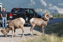 Bighorn sheeps (seryani) Tags: road trip viaje summer vacation naturaleza holiday canada nature animal animals america canon rockies outdoors nationalpark américa holidays jasper sheep carretera outdoor wildlife august paisaje agosto bosque alberta verano northamerica animales rockymountains bighorn vacations vacaciones oveja jaspernationalpark canadá 2012 bighornsheep rocosas bosques canadianrockies parquenacional airelibre carnero canadianrockymountains norteamérica animalessalvajes animalsalvaje montañasrocosas parquenacionaldejasper 1dmarkiv canadarockymountains canoneos1dmarkiv august2012 canonef70200f28lisii summer2012 montañasrocosasdecanadá verano2012 agosto2012 vacaciones2012
