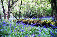 Bluebell Glade... (Trapac) Tags: uk flowers blue trees england fern green film bluebells woodland landscape moss spring woods nikon fuji purple superia scenic foliage dell g1 bracken analogue f80 nikkor50mmf18 magical 800 shady oxfordshire glade damp 2012 nikonf80 moist fujisuperia fujisuperia800 bluebellwoods fertile 800iso fecund wmh bladonwoods flickrcollectionongetty tracypackerphotography wwwtracypackercom gettymomentcreativecollection g0414