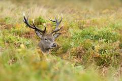 Mr Stag (Jacky Parker Floral Art) Tags: park uk autumn red male nature animal horizontal closeup landsca