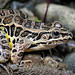 "Pickerel Frog (Rana palustris) - full profile • <a style=""font-size:0.8em;"" href=""http://www.flickr.com/photos/39798370@N00/8098796160/"" target=""_blank"">View on Flickr</a>"