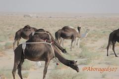 Camel (aboraged307) Tags: camel بعير جمل نياق