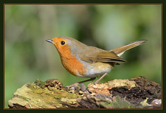 Robin (Full Moon Images) Tags: bird nature robin saint st woodland island wildlife reserve holt cambridgeshire ives
