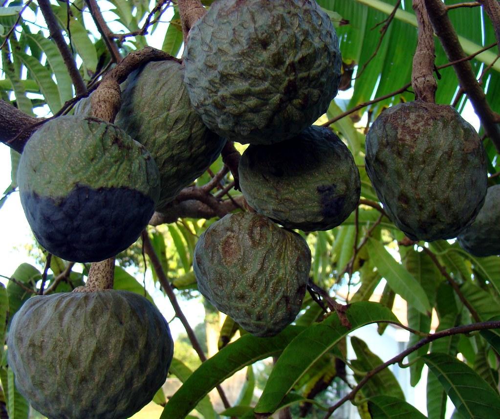 100 anon fruit tree how to grow huge sugar apple fruit