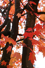 Autumn 2 (jimoliverphotography) Tags: autumn trees red sky orange white black color green fall college leaves yellow campus washington leaf maple community pacific northwest you feel gray can wa tcc tacoma breeze hear rustle