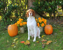 Baylea Fall Sept 2012 (4) (THE Halloween Queen) Tags: dog dogs brittanyspanielpurebreedpurebredredandwhitegundog