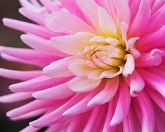 Garden Dahlia (Mary Susan Smith) Tags: pink dahlia flower macro home garden superhero portfolio ruleofthirds bigmomma challengeyouwinner cychallengewinner thechallengefactory tcfwinner herowinner ultraherowinner pregamewinner gamesweepwinner