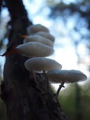 Stairway to heaven (Carsten aus Bonn) Tags: mushroom fungus pancake
