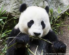 Giant Panda (kimindergand) Tags: california animal animals zoo panda sandiego ngc bamboo giantpanda sandiegozoo pandas animalphotography giantpandas yunzi allofnatureswildlifelevel1