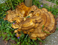 Big Fungus (Joe Thomissen) Tags: wood trees wild netherlands funguses joethomissen664freedom