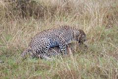 Africa Safari_Flickr-1747 (thefirstnoel51922) Tags: africa travel friends vacation elephant animals elise kenya lion september safari cheetah hippo