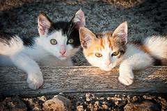 2 gatos (Juan Antonio Cap) Tags: bird chicken animal cat canon kat feline chat beak feathers gato ave pico felino katze mace  gatto  kot gat koka kedi kissa kttur maka kucing pusa gallina plumas mo moix    minino pollito    pisic plumn   canoneos40d