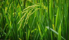 Rice plant (Fredde Nilsson) Tags: bali green indonesia rice munduk