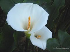 White-Tubulars (smbobde) Tags: flower garden kerala munnar