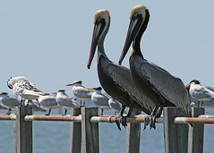 A Pair of Mature Brown Pelicans (MickiP65) Tags: wild copyright usa bird pelicans nature birds animal animals march pier florida wildlife web birding aves pelican creation northamerica fl creatures creature tern birdwatching cedarkey brownpelican animalia avian levy allrightsreserved audubon copyrighted terns pelecanusoccidentalis chordata michellepearson websized atsenaotie mickip mickip65 mar222012 03222012 20120322 032212 2012img194