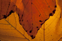 Autumn leaf I (aNNaj) Tags: autumn light red macro green yellow gold licht groen herfst grain anneke nerf geel rood goud leafvein autumnleaf herfstblad bladnerf hooijer