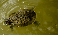 IMG_4373 (Thomo13) Tags: water animal japan swim canon temple eos turtle reptile mark ii 5d fukuoka terrapin dazaifu gettyimagesjapan12q4