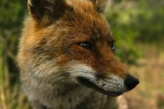 Fox 2 (Tommaso Renieri) Tags: portrait italy canon fur italia fox tuscany 1855 toscana ritratto pelo maremma volpe 400d