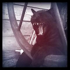 Rooar!! (Sabrina ) Tags: animal cat blackcat kitten sleep yawn kitty felino gatto sbadiglio gattonero ruggito
