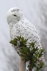 Snowy Owl (Paridae) Tags: owls snowyowls malesnowyowl owlsofbritishcolumbia birdsofboundarybay birdsofdelta yawningowl