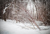 Red branches (dina bennett) Tags: trees winter red snow nature forest sticks woods bokeh montreal branches 85mm summit winterlandscape winterbeauty redbranches dinabennett