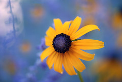 Black Eyed Susan~Explored! (j man ) Tags: life lighting blue friends light black flower color macro art texture nature floral colors beautiful closeup composition contrast lens photography petals illinois cool flickr dof blossom susan bokeh pov background sony details favorites vivid blurred 11 depthoffield pointofview sp ii views di if f2 eyed tamron primary centered comments ld washingtonpark jman a300 af60mm mygearandme flickrbronzetrophygroup