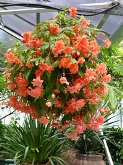 Auckland Botanical Gardens, Manurewa, South Auckland, New Zealand (Sandy Austin) Tags: newzealand northisland manurewa tuberousbegonia aucklandbotanicalgardens southauckland sandyaustin panasoniclumixdmcfz40