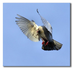 ~ Snack Attack ~ (Ruth S Hart) Tags: uk bird shadows action dove flight 8 essex projectflickr thebistro {explored} ourdailychallenge nikond5100