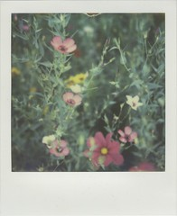 Floral (Lizzie Staley) Tags: pink flowers green film floral yellow project polaroid sx70 instant impossible px70