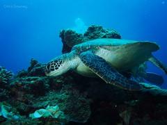 (Chris In Okinawa) Tags: ocean sea turtle scuba scubadiving reef seaturtle underwaterphotography