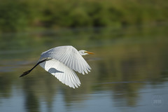 Egret Motion Blur 2016 (LouisRuthPhotography2016) Tags: egretflyingbirdfeathersbirdsinmotion bird birds feather egret egretflying motionblurr artofimages art wildlife nature canondslrusers canon5dmarkiii supremeimages animal serene outdoor thenatureclub masterpiece panning motionart travelphotography allanimals amazingcapture amazingbirds amazingwildlife birdsasart birdsinmotion animalsworld allbirdsallthetime