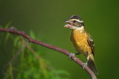 Black-headed Grosbeak (RawComposition) Tags: bird birding nature wildlife summer nikon nikon500f4 d810
