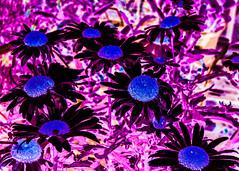 InvertedDaisy (Darren Tolley) Tags: broom warwickshire flowers farmshop inverted daisy