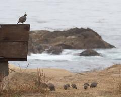 Quail at the coast (Tom Clifton) Tags: pointlobos theslot californiaquail caqu
