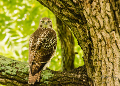 Red Tail hawk - Here's Looking at You Kid! (dbking2162) Tags: red tail hawk redtailhawk birds bird birdofprey nature wildlife animal outside outdoor trees tree muncie indiana
