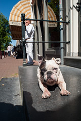 Lazy days @ Amsterdam (PaulHoo) Tags: amsterdam dog bulldog tired pet 2016 summer street candid streetcandid streetphotography animal portrait protection lazy windows reflection