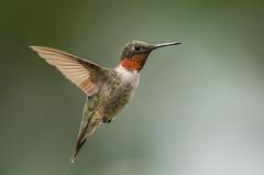 Birds-271.jpg (Ruby throated hummingbird) (luc_pic) Tags: 200500vr d500 close birdfeeder nature rubythroated small hummingbird inflight bird