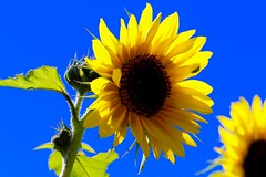Sonnenblume (Mani Roos) Tags: sonnenblume sunflower blume flower natur gelb yellow grn green macro canoneos7dmarkii canonef100mmf28lmacroisusm maniroos