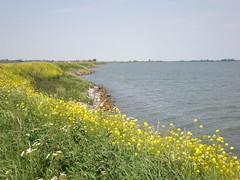 IJmeer. (~Ingeborg~) Tags: durgerdam ijmeer landschap landscape narrowroad smalleweg uitdammerdijk yellowflowers gelebloemen koolzaad rapeseed meinge