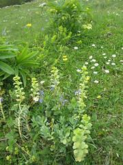 Wildflowers at Vidikovac, Uvac Nature Reserve, Serbia (Paul McClure DC) Tags: uvac naturereserve serbia srbija zlatibor druinie vidikovac sjenica balkans may2016