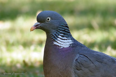 Wood Pigeon (Boreal Impressions) Tags: commonwoodpigeon columbapalumbus dove pigeon columba columbidae southeastengland culver london europe britain bird birding