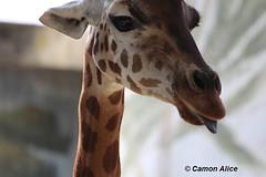 .. e con questo ho detto tutto (pinkystar_84) Tags: canon eos700d flickr giraffa mammals mammiferi smorfia lingua linguaccia ritratto portrait animal funny divertente nationalgeographic wwf