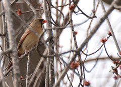 Backyard birds (turn off your computer and go outside) Tags: 2016 march wi wisconsin barebranches birds buddingtree clearday firstbuds nature outdoors outside tree warmday